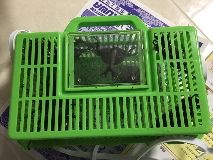 フルーツトラップ採集法で採れたカブトムシとクワガタ